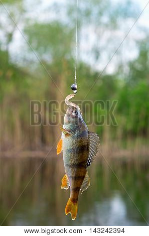 caught perch on silicon bait in the river in summer