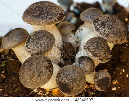 groups cultivation of cardoncelli mushrooms on a white background. (shallow focus)