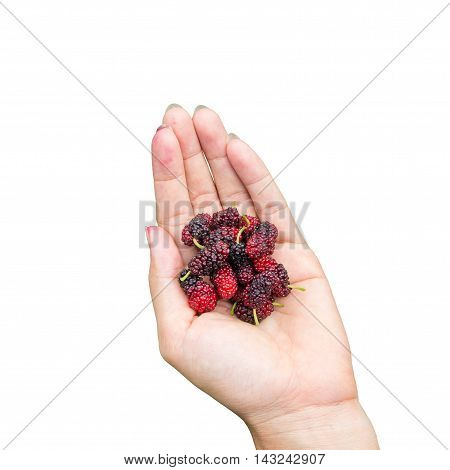red mulberries fruit on hand isolated on white background.