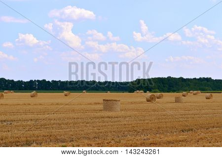 Round bales of hay in the field in harvest season