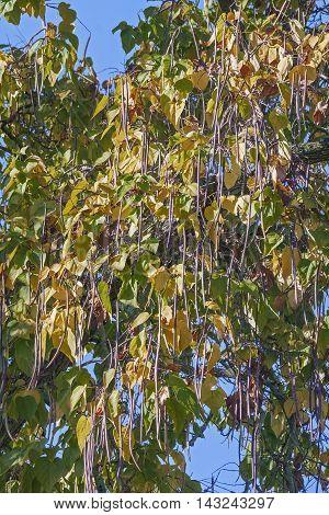 Northern catalpa (Catalpa speciosa). Called Hardy Catalpa Western Catalpa Cigar Tree and Catawba-tree also