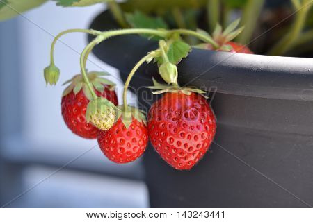 Strawberries plant potter and the birth of a strawberry.
