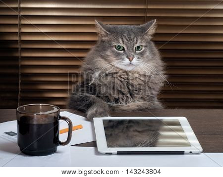 Cat - the boss in the office. The office table tablet working environment