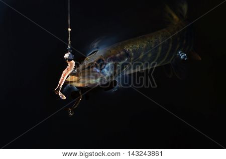 caught pike on the silicone in the dark water