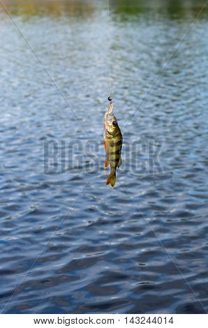 Perch caught on spinning hanging over the river