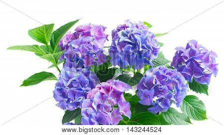 blue and violet hortensia blooming flowers with green leaves isolated on white background