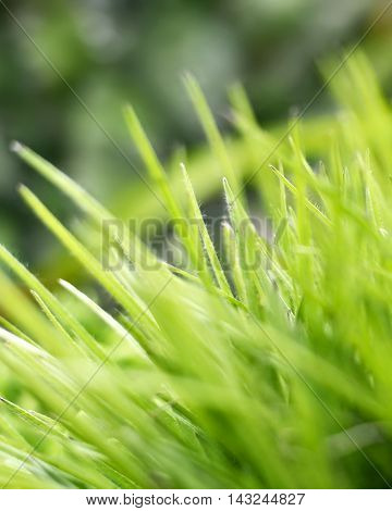 Green grass background with selective focus and copy space.