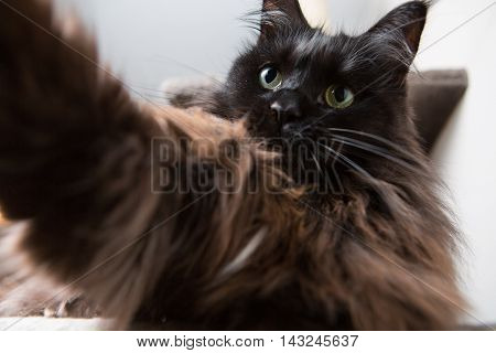 Funny brown main coon cat doing selfie