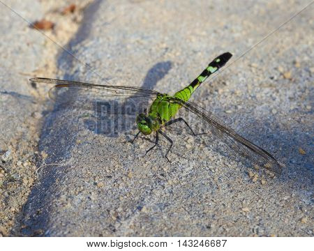 Green dragonfly that has landed on some sand set bricks