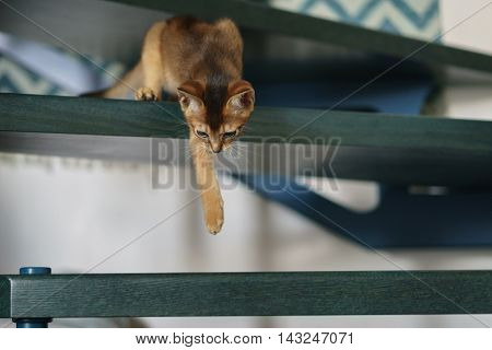 abyssinian kitten playing on stairs, shallow focus