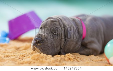Grey Great Dane puppy that is a purebred ready to sleep