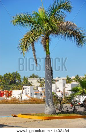 Palm In Mazatlan