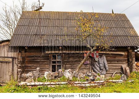 Flock of turkeys in front of an old abandoned wooden country house