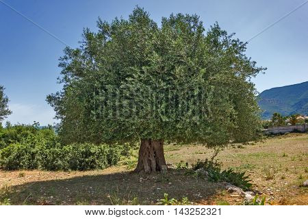 Landscape of Olive tree at Kefalonia, Ionian islands, Greece