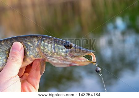 caught pike fisherman in his hand, against the background of the river