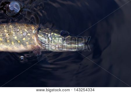 big pike in the water among bubbles
