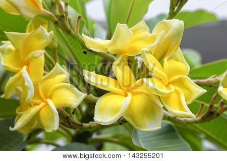 Plumeria flower . beautiful yellow Plumeria on the tree.( Common name Apocynaceae Frangipani Pagoda tree Temple tree )