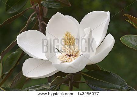 Southern magnolia flower (Magnolia grandiflora). Called Evegreen Magnolia Bull Bay Bullbay Magnolia Laurel Magnolia and Loblolly Magnolia also