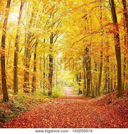 Autumn forest path with multicolored trees and golden sun.