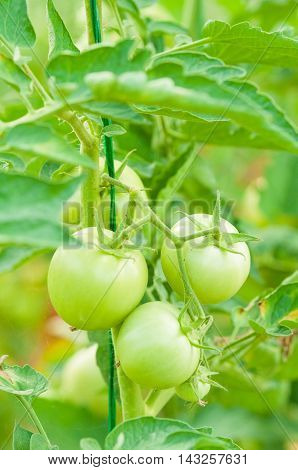 Stem With Green Unripe Tomatoes As Eco Farming Concept