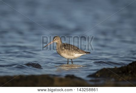 Black-tailed godwit wading in the sea, close up