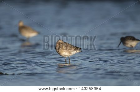 Black-tailed Godwit, Standing In The Sea, Resting