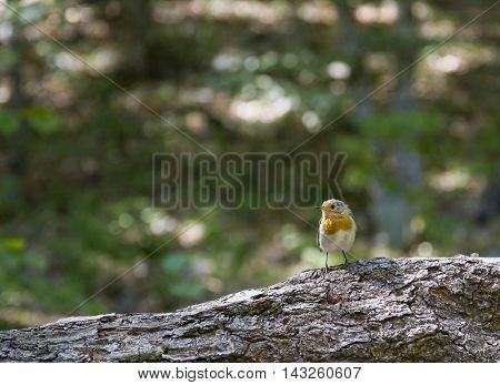 The European Robin Erithacus rubecula sitting on a tree.