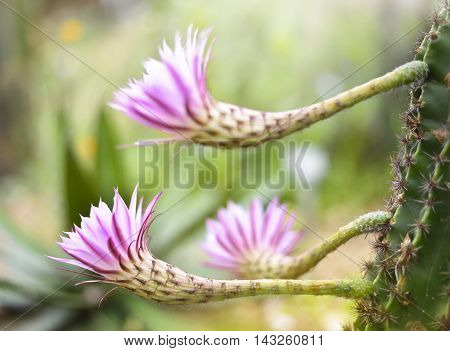 Pink cactus flowers with selective focus and copy space.