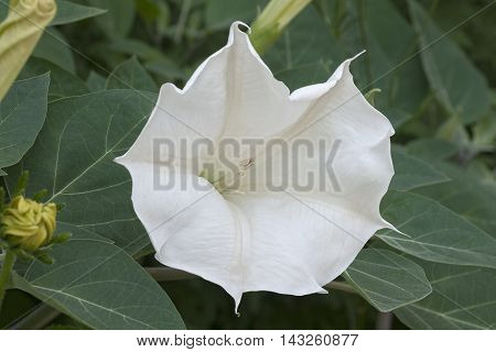 Devil's trumpet flower (Datura metel). Close up image of flower