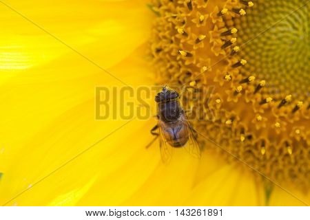 Sunflower and hoverfly Eristalis, macro view. Yellow petals flower with fly. Shallow depth of field