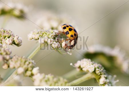 Macro photo orange ladybug. Lady bird on a top white flower. Soft and blurry garden background. Shallow depth of field