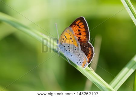 Colorful butterfly closeup. Blue orange gossamer-winged Polyommatus icarus on green grass. macro view shallow depth of field. Soft focus photo