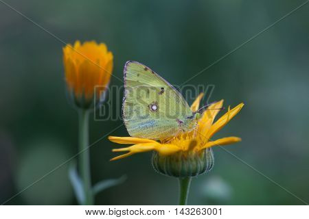 Butterfly Colias hyale pale clouded yellow sitting on orange flower. Green background. macro view, soft focus.