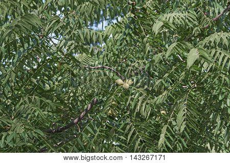 Eastern black walnut (Juglans nigra). Image of foliage and fruits