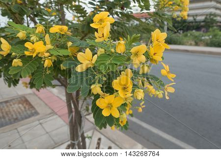 Glaucous Cassia's yellow flowers blooming in morning