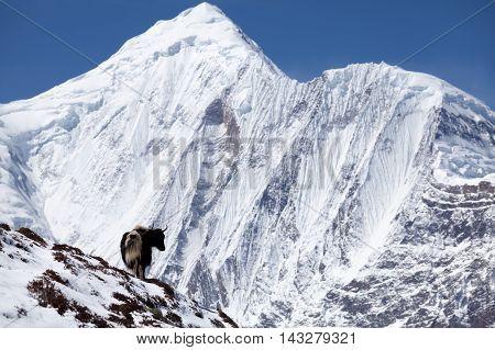 Hymalayan yak with snow mountain (Annapurna II) in background on the Round Annapurna trekAnnapurna Conservation Area Annapurna Circuit Manang Nepal.