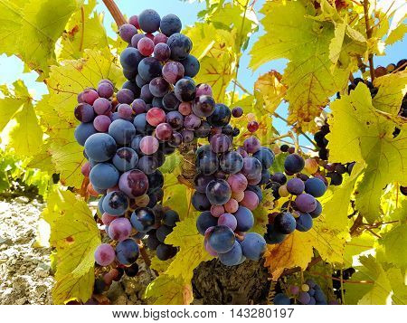 Ripe bunches of grapes in a vineyard close-up