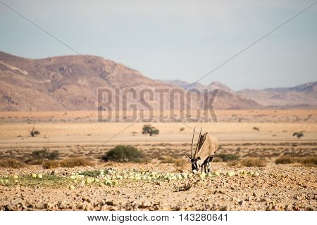 Oryx Eating Desert Melons.