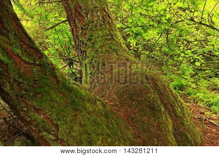 a picture of an exterior Pacific Northwest forest of mossy old growth Douglas fir trees Douglas fir tree trunks