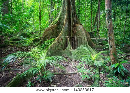 Dense rainforest in Mossman Gorge, Queensland, Australia