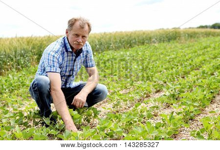 Male farmer checks the soybean harvest. The unique technology of growing crops. Farmer sitting in the field on a background of wheat and soybeans. Golf bread. Growing non-GMO soybeans. Eco friendly product.