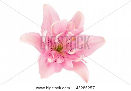 lily flower , floral on a white background