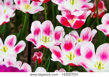 Top view of vibrant pink, white and yellow tulip blossom closeup macro texture background