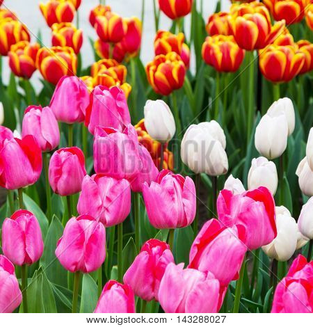 Colorful tulip flowerbed, pink, yellow and white in spring flower garden