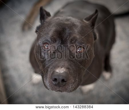 A well behaved black pitbul obediently sits