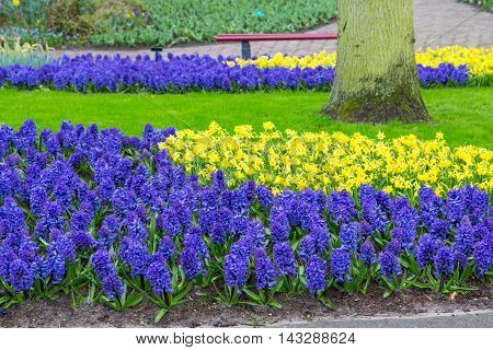 Multicolored blue flowers Hyacinths and yellow daffodil growing on the flowerbed  in the garden