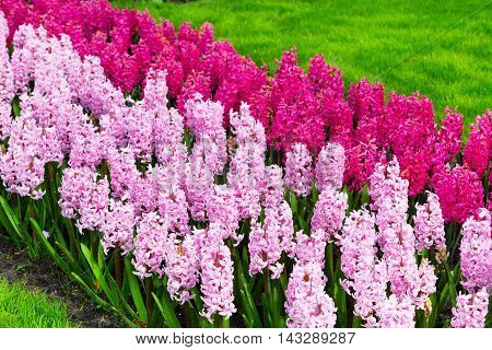 Multicolored Pink flowers Hyacinths and red tupils growing on the flowerbed in the garden