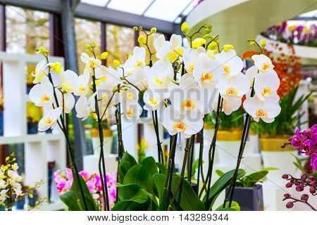 Vibrant holiday background with beautiful white orchid flower in flower pot