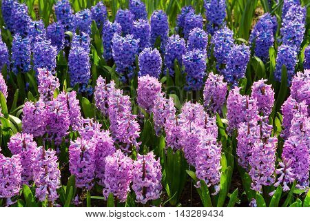 Colorful lilac and purple hyacinth flowers blossom in spring garden