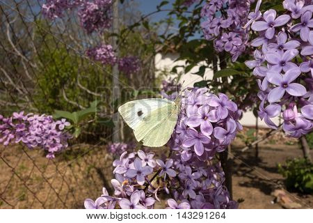 White butterfly on lilac flower in sunny day